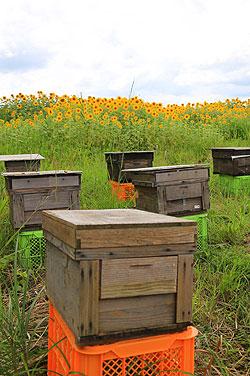 八米のヒマワリ畑でハチミツ採り