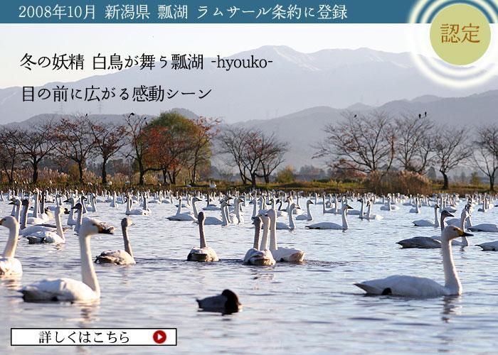 冬の妖精 白鳥が舞う瓢湖