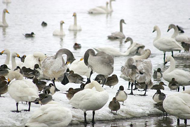 ▲昨日からの雪で田畑も真っ白になり、餌場が減ったために、たくさんのハク... 瓢湖[新潟県] ト