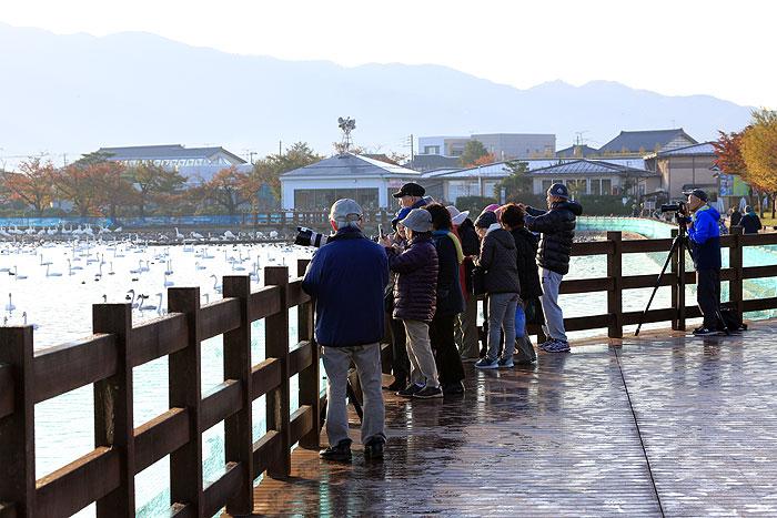 新潟県阿賀野市 瓢湖 白鳥 ラムサール条約